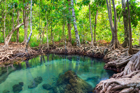 klong: Tha Pom, the mangrove forest in Krabi, Thailand
