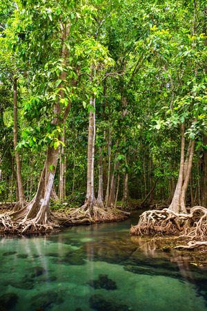 Tha Pom, the mangrove forest in Krabi, Thailand photo
