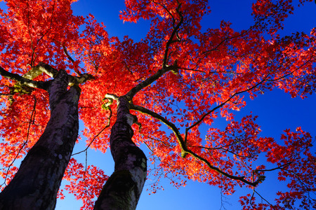 Silhouette Red maple tree on blue sky photo