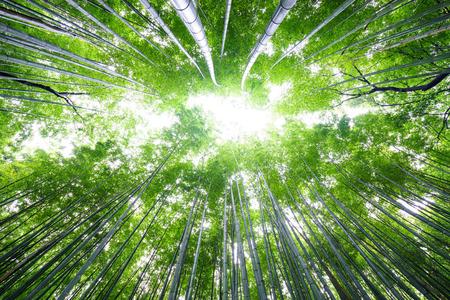 crecimiento planta: Bosque de bamb�, el cielo brillante Arashiyama, Kyoto, Jap�n