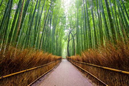 crecimiento planta: Camino al bosque de bambú, Arashiyama, Kyoto, Japón Foto de archivo