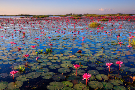 lotus flowers: The sea of red lotus, Lake Nong Harn, Udon Thani province, Thailand