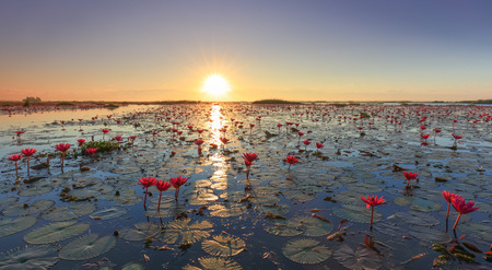 field sunset: The sea of red lotus, Lake Nong Harn, Udon Thani province, Thailand