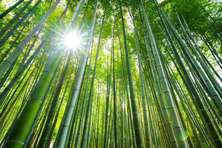 Bamboo forest with sun flare, Arashiyama, Kyoto, Japan