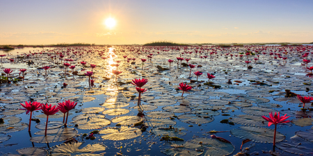 water lilly: The sea of red lotus, Lake Nong Harn, Udon Thani province, Thailand