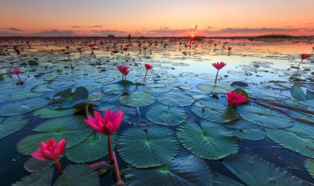 빨간 연꽃 바다, Nong Harn 호수, 우돈 타니 지방, 태국 스톡 콘텐츠