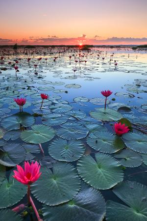 lirio acuatico: El mar de loto rojo, Lago Nong Harn, la provincia de Udon Thani, Tailandia Foto de archivo