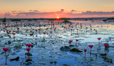 lake sunset: The sea of red lotus, Lake Nong Harn, Udon Thani province, Thailand