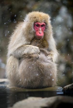 Snow monkey (Japanese Macaque) in a snowstrom, Nagano, Japan Banco de Imagens
