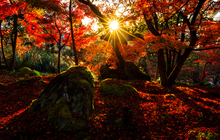 Silhouette of autumn leaf with sun flare  Kyoto, Japan