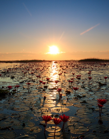 The sea of red lotus, Lake Nong Harn, Udon Thani province, Thailand