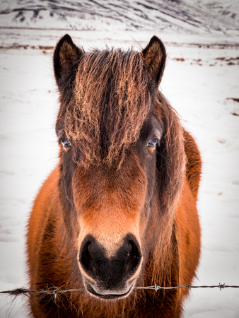 Icelandic horses in winter, Iceland