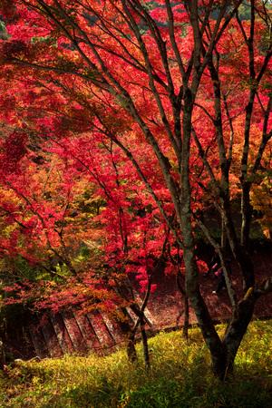 Autumn leaf landscape, Kyoto, Japan