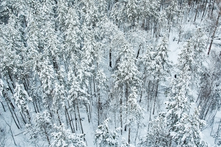 Aerial view of snow-covered forest in Siberia photo