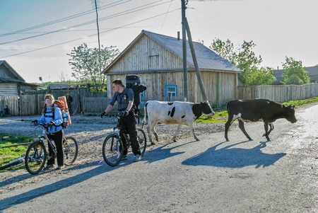 tourists stop: Bicycle tourists stop on road with cows