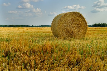 hayroll: Hay bale. Agriculture field with sky. Rural nature in the farm land. Straw on the meadow. Wheat yellow golden harvest in summer. Countryside natural landscape. Grain crop, harvesting.