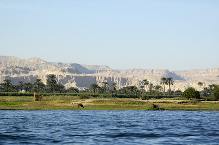 Cow on river bank in egypt. River Nile in Egypt. Life on the River Nile Banco de Imagens - 93070512