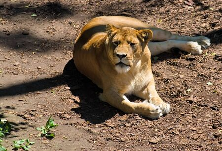 Pretty Mighty Lioness relaxes in summer day