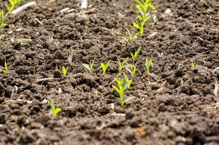 Growing Young Green Seedling Sprouts in Cultivated Agricultural Farm Field 스톡 콘텐츠