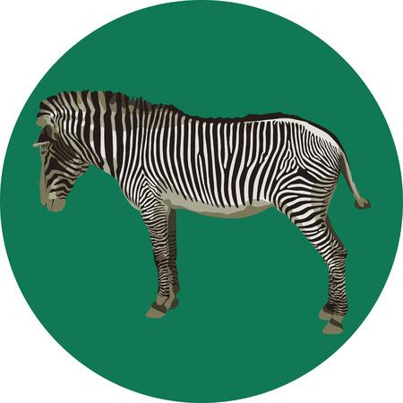 Zebra Ilustrace