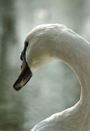 imperious: A wonderful swan Stock Photo