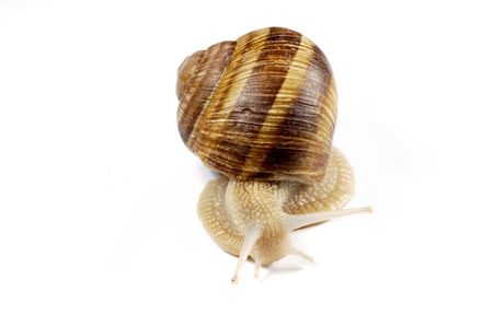 frontal view: frontal view of a snail