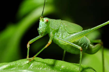 cricket insect: Frontal view of a green insect
