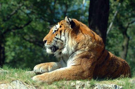 savana: A siberian tiger Stock Photo