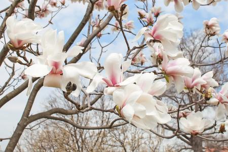 magnolia tree: Magnolia tree blossom close up background Stock Photo