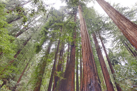 muir: Red wood forest in Muir Woods, California Stock Photo