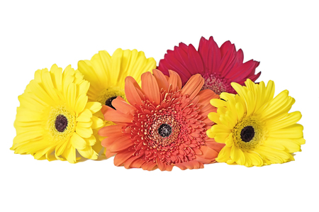 Beautiful gerberas on white background  isolated