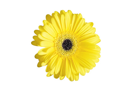 yellow gerbera isolated on: Yellow gerbera on white background  isolated