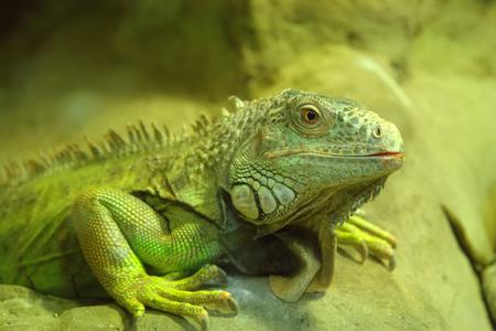 close up: Green iguana close up