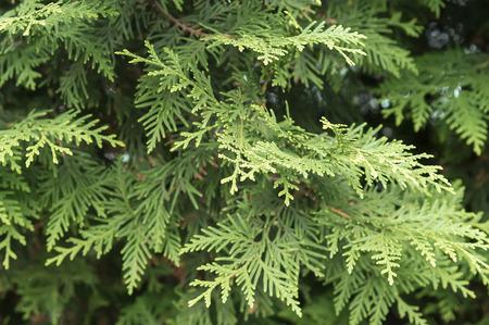 ジュニパー枝背景をクローズ アップ 写真素材