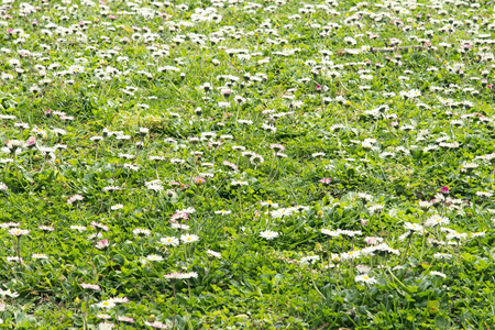 daisys: Spring meadow with daisys in the bright sunlight