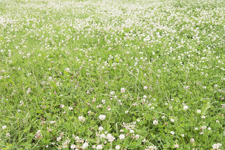 Summer bright green meadow with clover background Stock Photo