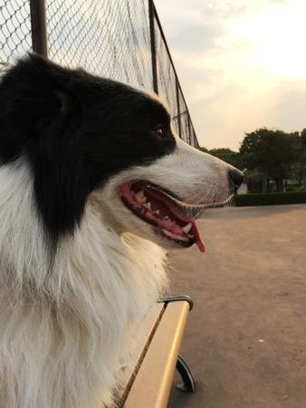 Border collie under sunset