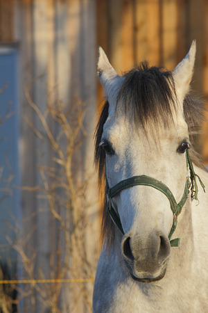 white arabian horse portrait in sunny winter day