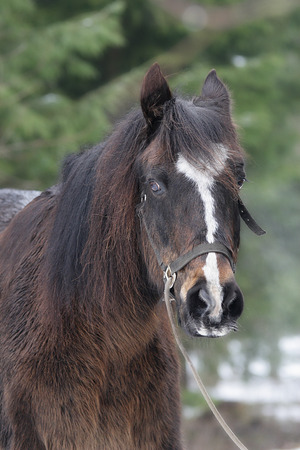 Portrait of a cute brown horse in a headcollars