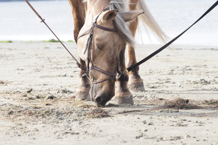 Horse on a beach sniffing something in sand