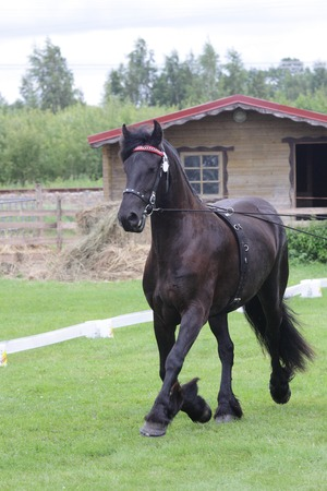 black friese mare at draft horse show working on long reins
