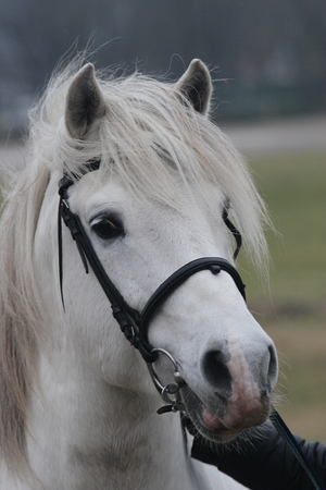 estonian: White estonian klepper breed stallion looking forward