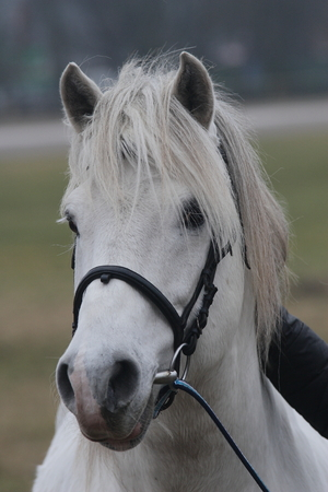White estonian klepper breed stallion looking forward