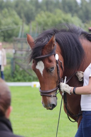 blue eyed brown stallion estonian draft horse at show presentation