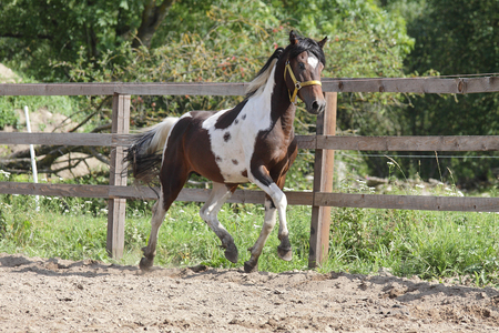 Paint stallion running in paddock