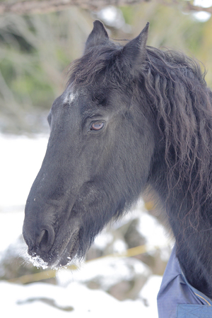 Black horse portrait Reklamní fotografie - 99365731