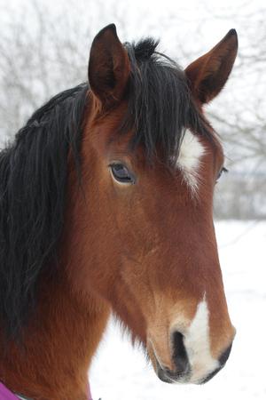 Brown horse portrait Stockfoto