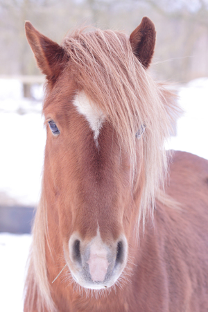 Orange horse portrait
