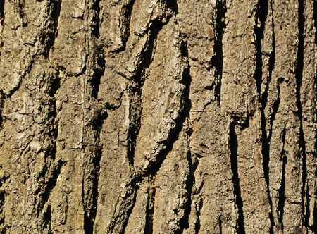 Oak bark (texture, material, background, decoration)