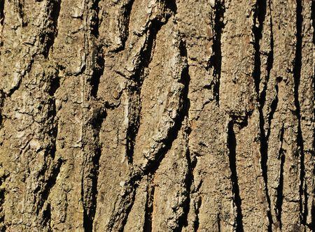 Oak bark (texture, material, background, decoration)